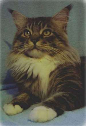 Mainská kočka