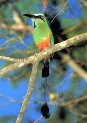 Tyrkysový národni pták, guardabarranco